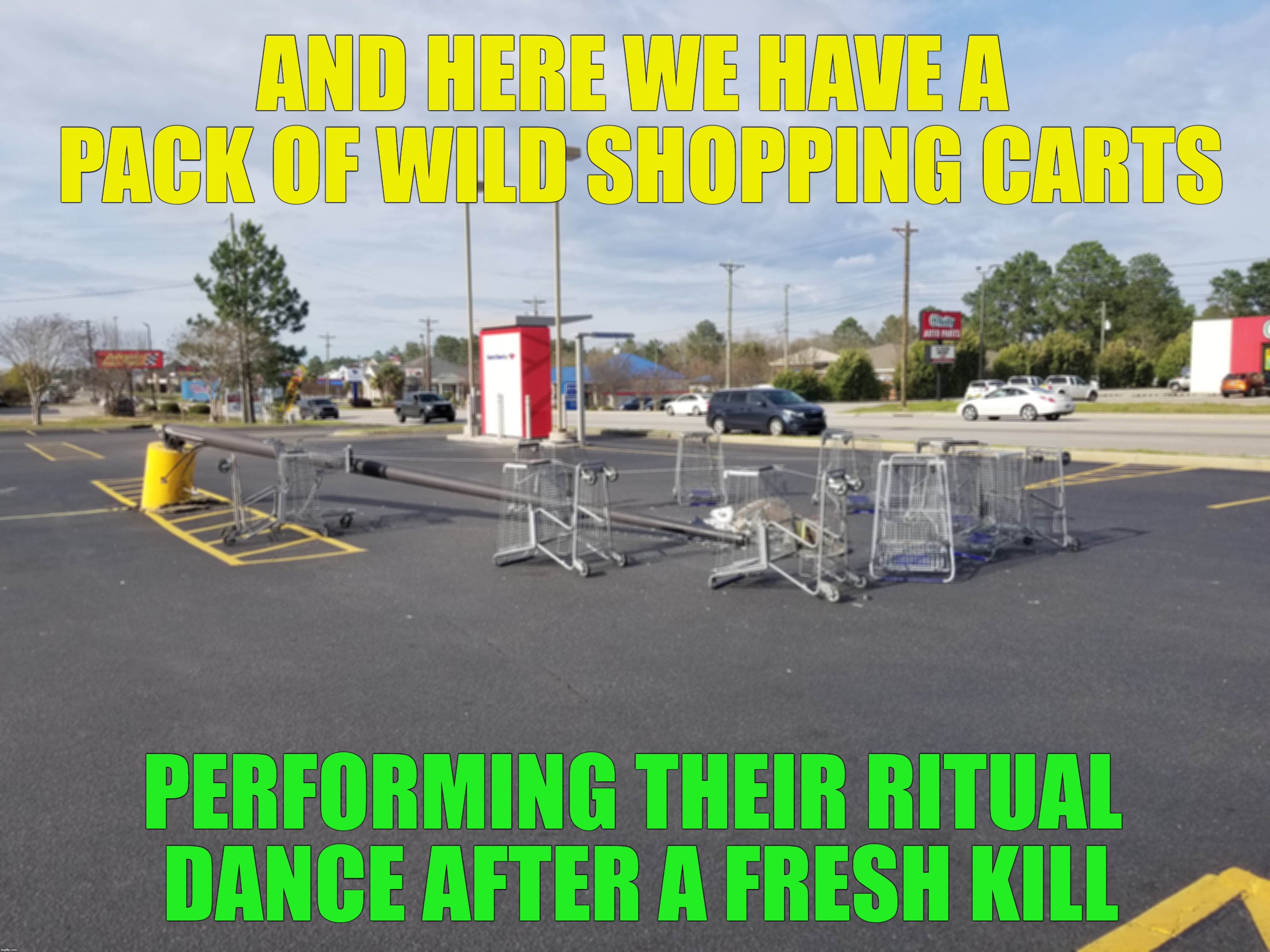Parking lot poles are their favorite prey | AND HERE WE HAVE A PACK OF WILD SHOPPING CARTS PERFORMING THEIR RITUAL DANCE AFTER A FRESH KILL | image tagged in national geographic,random,it's not a potato | made w/ Imgflip meme maker
