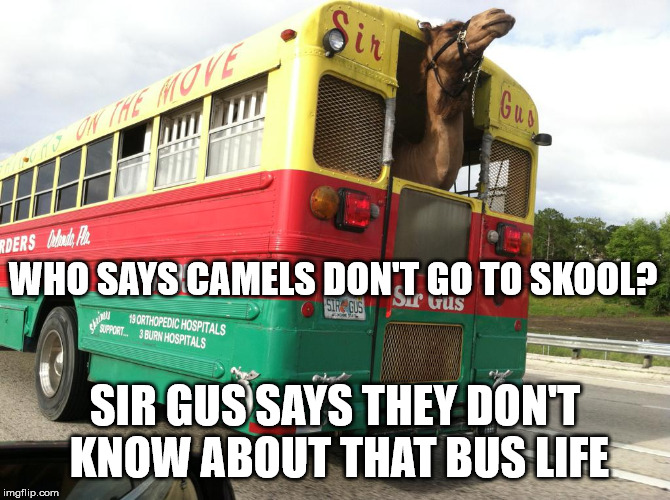 Sir Gus Is Not Too Cool for Skool | WHO SAYS CAMELS DON'T GO TO SKOOL? SIR GUS SAYS THEY DON'T KNOW ABOUT THAT BUS LIFE | image tagged in sir gus jr,ferguson,skoolie,bus life,dancing camel,sir gus | made w/ Imgflip meme maker
