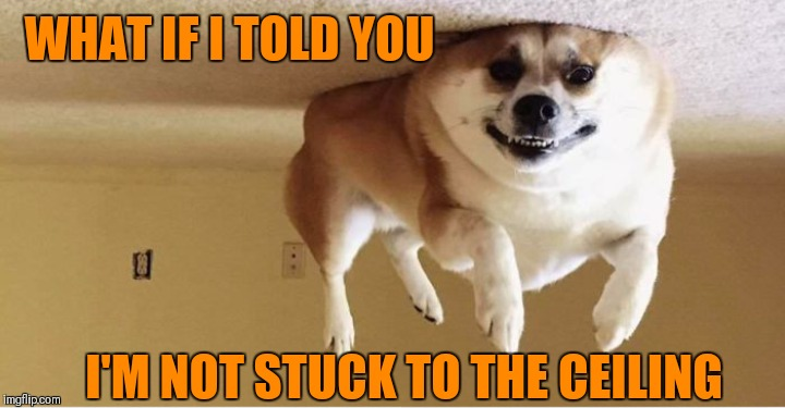 Doggo Week March 10-16 (A Blaze_the_Blaziken and 1forpiece event)  | WHAT IF I TOLD YOU I'M NOT STUCK TO THE CEILING | image tagged in memes,dogs,what if i told you,1forpeace,blaze the blaziken,doggo week | made w/ Imgflip meme maker