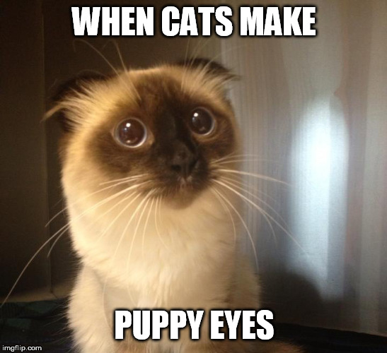 See what I did there? Doggo Week March 10-16 a Blaze_the_Blaziken and 1forpeace Event | WHEN CATS MAKE PUPPY EYES | image tagged in memes,lolcats,doggo | made w/ Imgflip meme maker