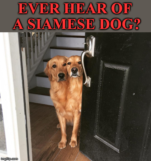 Let's go make some dog memes! (Doggo week, a 1forpeace and Blaze_the_Blaziken event) | EVER HEAR OF A SIAMESE DOG? | image tagged in doggo week,dog week,dog meme,funny dogs,1forpeace,blaze the blaziken | made w/ Imgflip meme maker