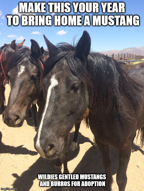 Mustang horses. | MAKE THIS YOUR YEAR TO BRING HOME A MUSTANG WILDIES GENTLED MUSTANGS AND BURROS FOR ADOPTION | image tagged in blmwildhorseandburro program,adoption,mustang,wild horse | made w/ Imgflip meme maker