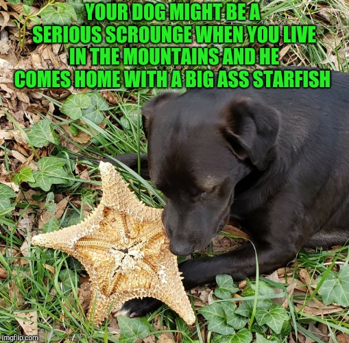 My dog comes home every day with all sorts of crazy objects he steals from who knows where like this starfish lol Doggo Week!  | YOUR DOG MIGHT BE A SERIOUS SCROUNGE WHEN YOU LIVE IN THE MOUNTAINS AND HE COMES HOME WITH A BIG ASS STARFISH | image tagged in jbmemegeek,doggo week,funny dogs,dogs | made w/ Imgflip meme maker