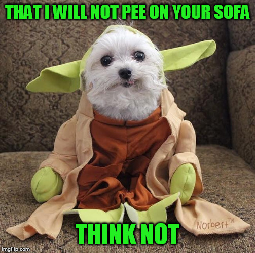 Double negatives I like.  Doggo Week March 10-16 a Blaze_the_Blaziken and 1forpeace Event | THAT I WILL NOT PEE ON YOUR SOFA THINK NOT | image tagged in memes,star wars yoda,doggo week | made w/ Imgflip meme maker