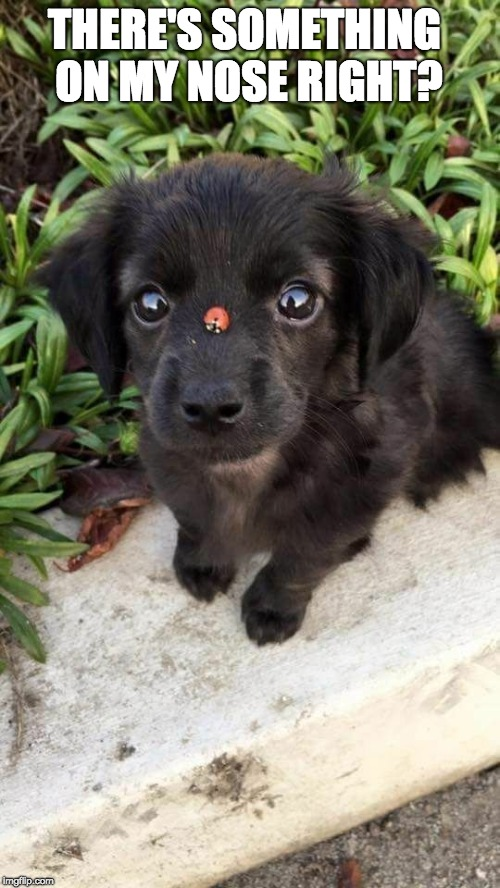 THERE'S SOMETHING ON MY NOSE RIGHT? | image tagged in puppy and ladybug | made w/ Imgflip meme maker