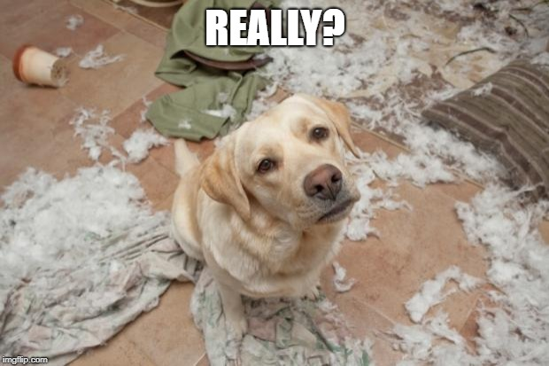 Bad dog | REALLY? | image tagged in bad dog | made w/ Imgflip meme maker
