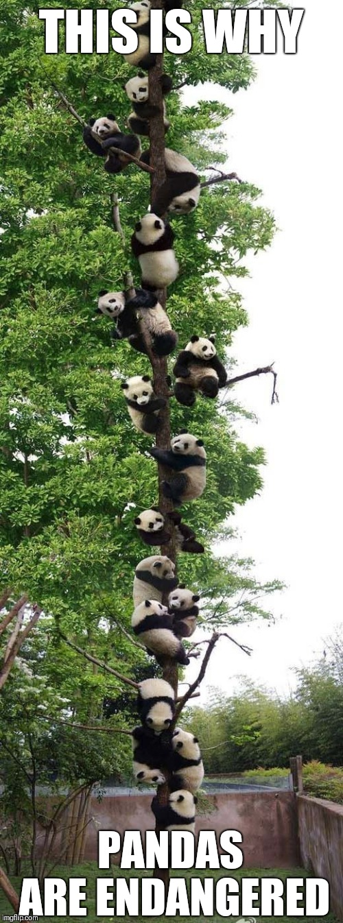 Pandas Tree | THIS IS WHY PANDAS ARE ENDANGERED | image tagged in memes,panda,tree | made w/ Imgflip meme maker