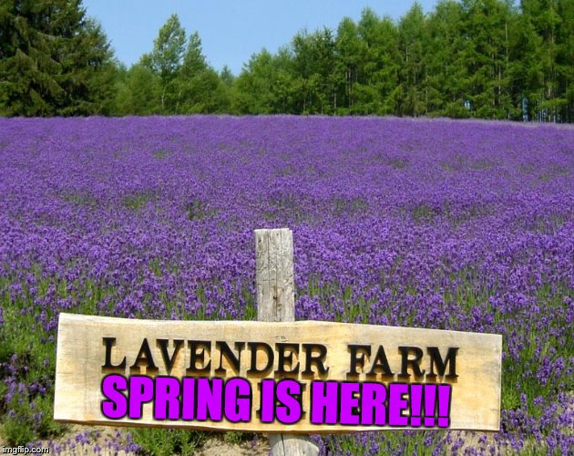 Finally |  SPRING IS HERE!!! | image tagged in memes,spring,here,beautiful,lavender,flowers | made w/ Imgflip meme maker