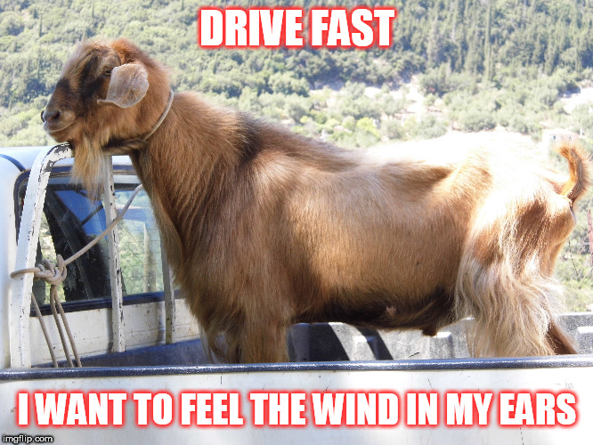 drive fast |  DRIVE FAST; I WANT TO FEEL THE WIND IN MY EARS | image tagged in goat,drive,wind,van | made w/ Imgflip meme maker