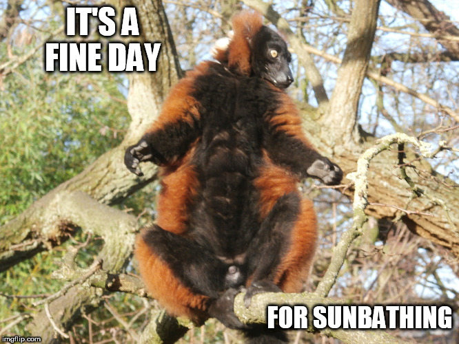 it's a fine day | IT'S A FINE DAY FOR SUNBATHING | image tagged in lemur,sun,tree,sunbathing,fine day | made w/ Imgflip meme maker