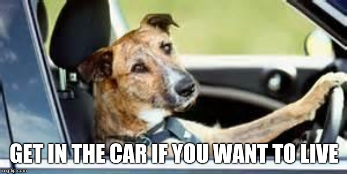 dog in car | GET IN THE CAR IF YOU WANT TO LIVE | image tagged in dog in car | made w/ Imgflip meme maker