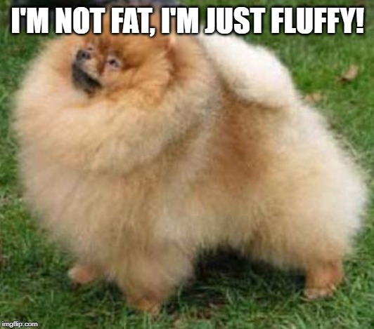 Pomeranian gone wild | I'M NOT FAT, I'M JUST FLUFFY! | image tagged in pomeranian gone wild | made w/ Imgflip meme maker