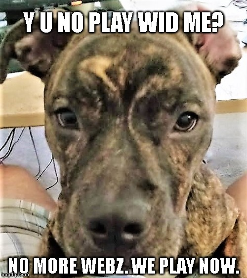 Y u no play wid me? | Y U NO PLAY WID ME? NO MORE WEBZ. WE PLAY NOW. | image tagged in dog,molly,play | made w/ Imgflip meme maker
