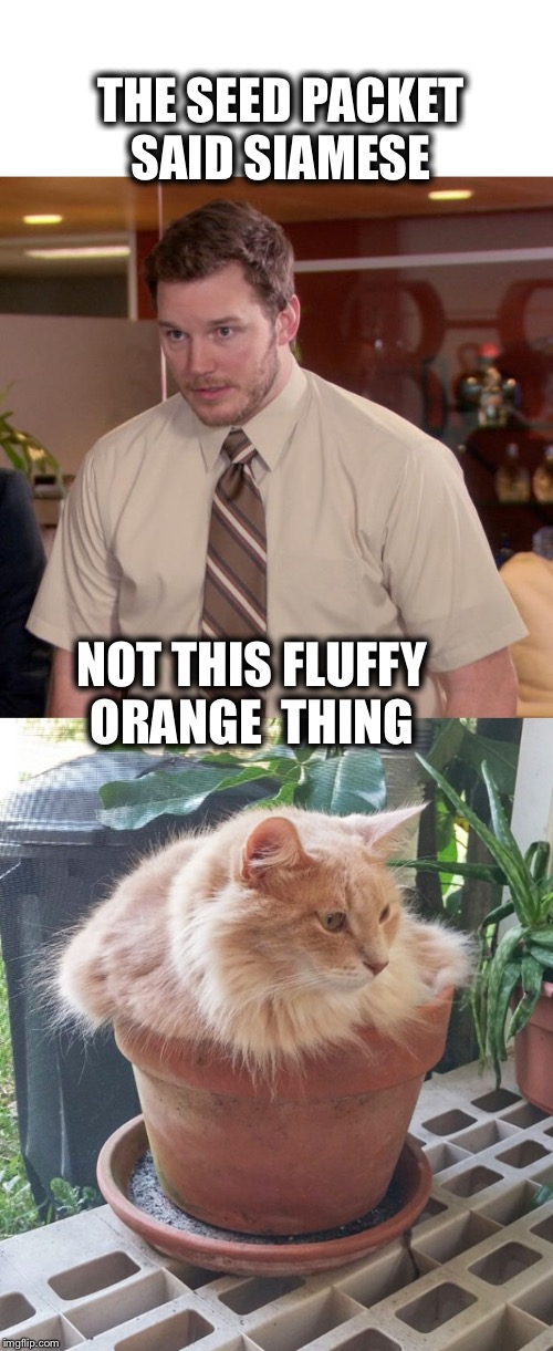 THE SEED PACKET SAID SIAMESE NOT THIS FLUFFY ORANGE  THING | image tagged in memes,afraid to ask andy | made w/ Imgflip meme maker