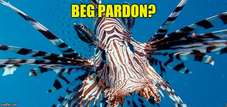 Lionfish | BEG PARDON? | image tagged in lionfish | made w/ Imgflip meme maker