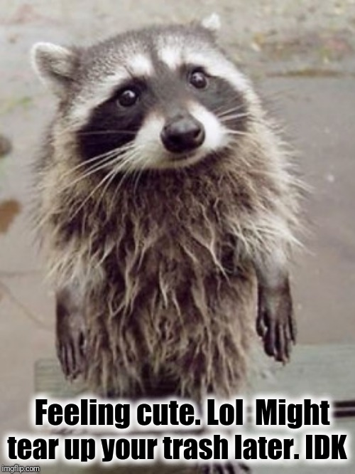 Feeling Cute Racoon | Feeling cute. Lol  Might tear up your trash later. IDK | image tagged in feeling cute racoon,funny,cute,fun,funny animals | made w/ Imgflip meme maker