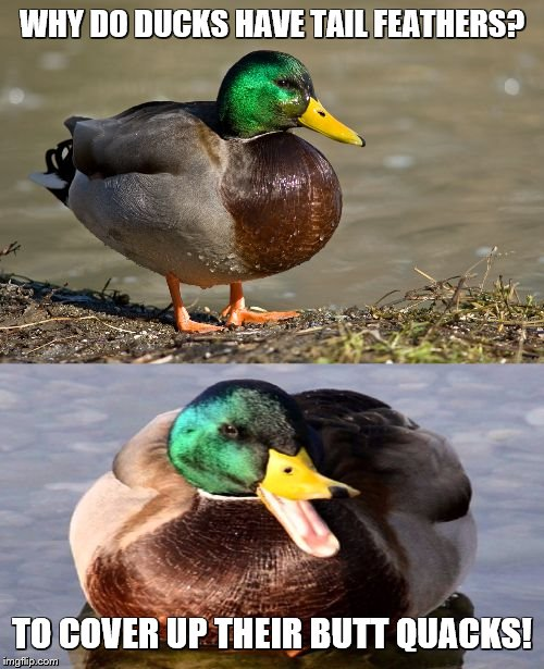 Bad Pun Duck | WHY DO DUCKS HAVE TAIL FEATHERS? TO COVER UP THEIR BUTT QUACKS! | image tagged in bad pun duck,bad puns,ducks | made w/ Imgflip meme maker