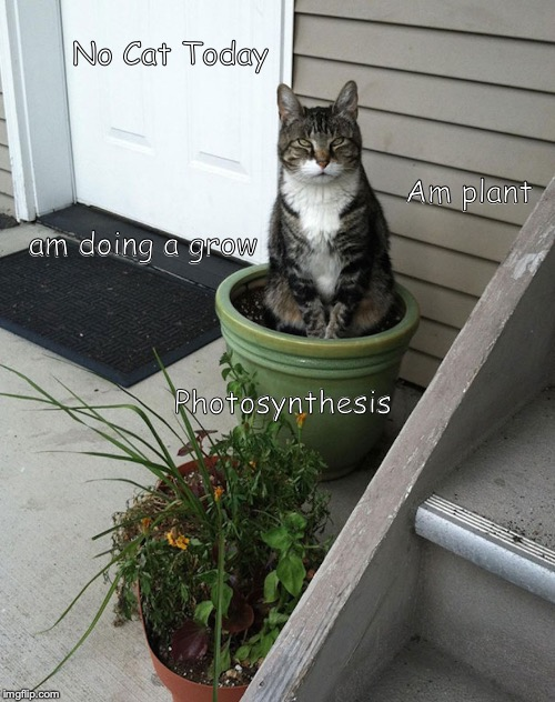 cat | No Cat Today Photosynthesis Am plant am doing a grow | image tagged in cat | made w/ Imgflip meme maker