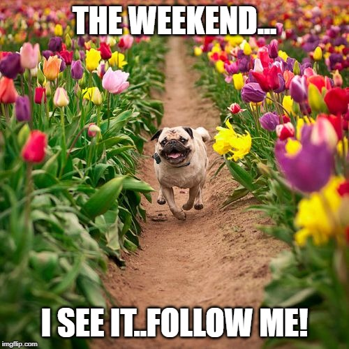 Weekend Pug | THE WEEKEND... I SEE IT..FOLLOW ME! | image tagged in dog,dogs,pug,pugs,weekend | made w/ Imgflip meme maker