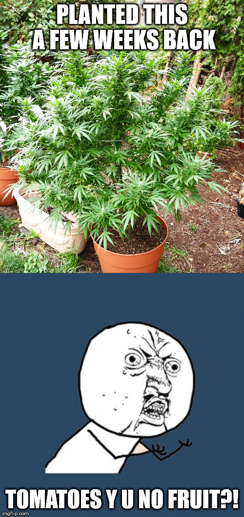 high expectations | PLANTED THIS A FEW WEEKS BACK TOMATOES Y U NO FRUIT?! | image tagged in memes,y u no,weed | made w/ Imgflip meme maker