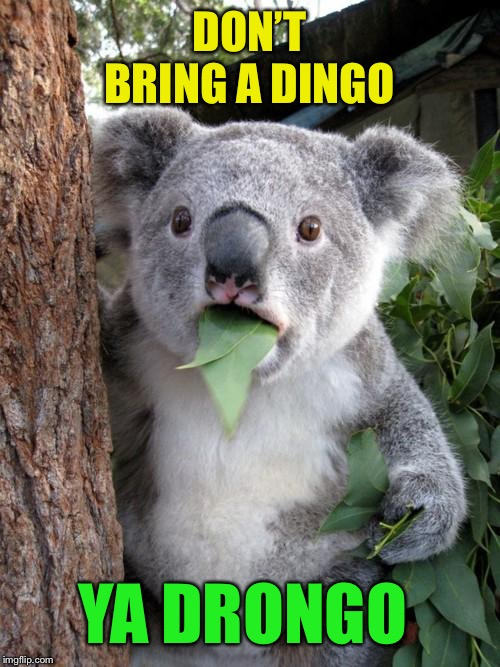 Surprised Koala Meme | DON'T BRING A DINGO YA DRONGO | image tagged in memes,surprised koala | made w/ Imgflip meme maker