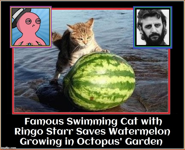 9-Brained Octopus Grows Watermelon. My Cat & Ringo Step in! | FAMOUS SWIMMING CAT WITH RINGO STARR SAVES WATERMELON GROWING IN OCTOPUS' GARDEN | image tagged in vince vance,ringo starr,cats,the beatles,octopus,garden | made w/ Imgflip meme maker
