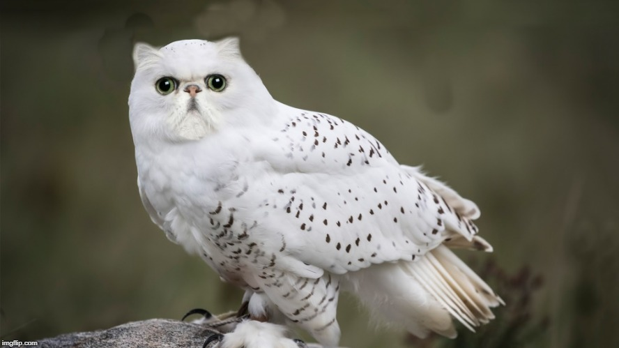 owl-cat | image tagged in photoshopped,kewlew | made w/ Imgflip meme maker