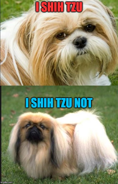 shih tzu | I SHIH TZU I SHIH TZU NOT | image tagged in shih tzu,bad pun dog,funny dogs,animal meme,dog memes,funny dog memes | made w/ Imgflip meme maker