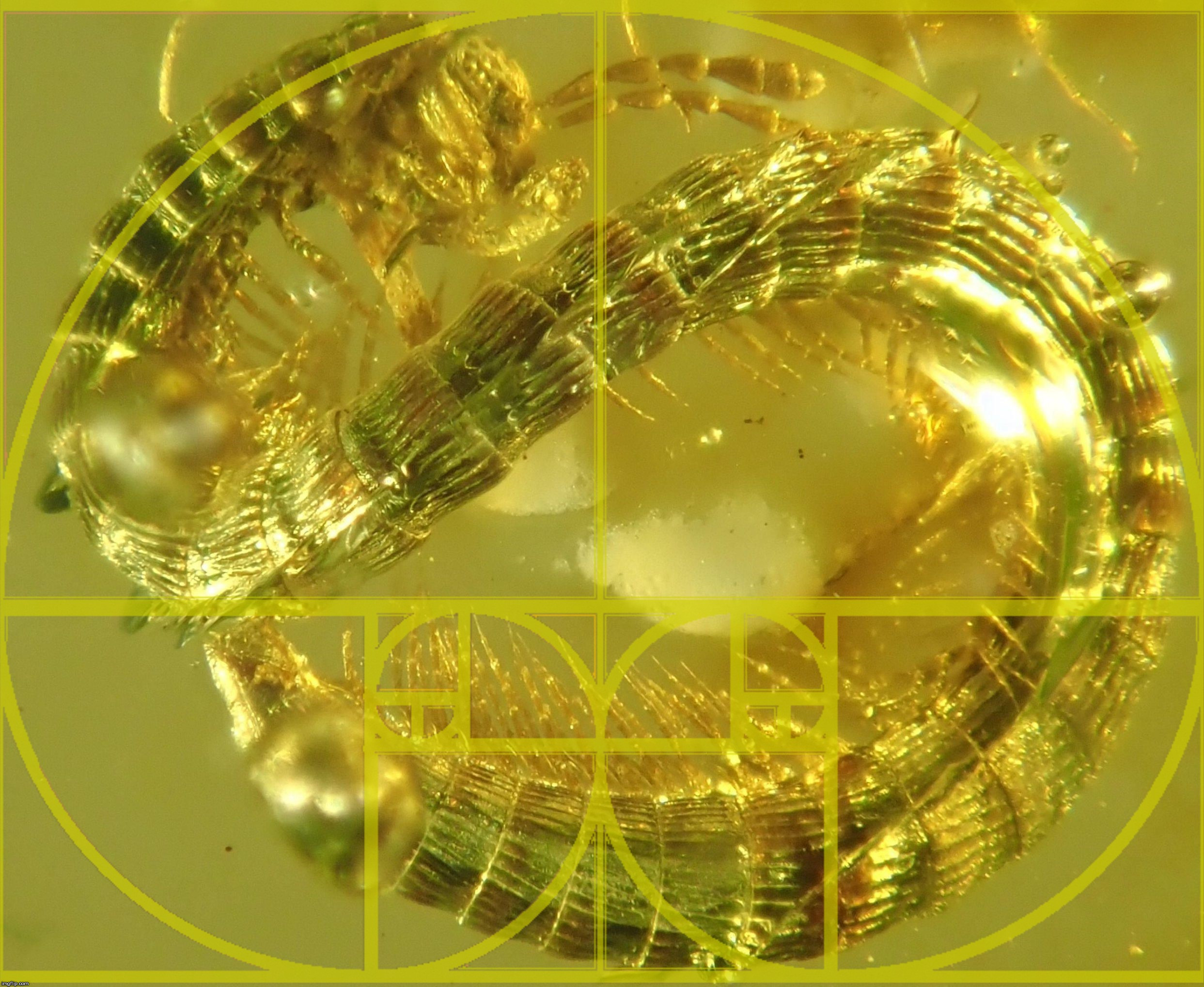 A millipede trapped in translucent amber.  207 207 0 in R.G.B. with 62% sticker opacity. | image tagged in the golden ratio,nature,amber,visible,light,spectrum | made w/ Imgflip meme maker