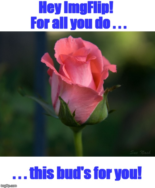 Thanks for making this site so easy to use | Hey ImgFlip!  For all you do . . . . . . this bud's for you! | image tagged in meme,imgflip,thanks,rosebud | made w/ Imgflip meme maker
