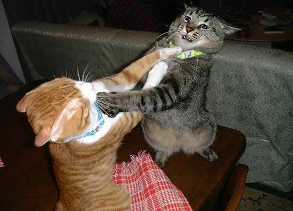 cats fighting how to stop