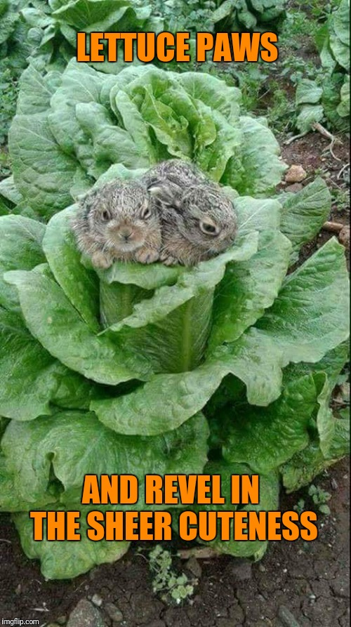 Bunnies | LETTUCE PAWS AND REVEL IN THE SHEER CUTENESS | image tagged in bunnies | made w/ Imgflip meme maker