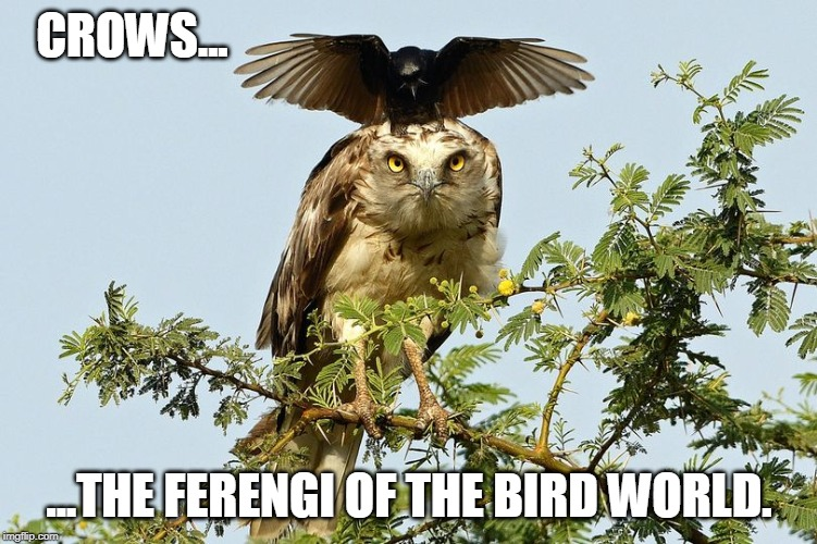 Crows... | CROWS... ...THE FERENGI OF THE BIRD WORLD. | image tagged in star trek | made w/ Imgflip meme maker