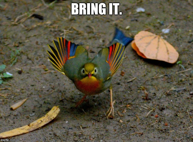 Ready to face the day | BRING IT. | image tagged in angry bird,bring on monday,face the day,i hate mondays | made w/ Imgflip meme maker