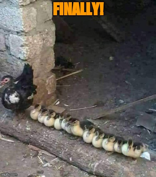 Ducks in a row! | FINALLY! | image tagged in funny duck,ducks in a row | made w/ Imgflip meme maker
