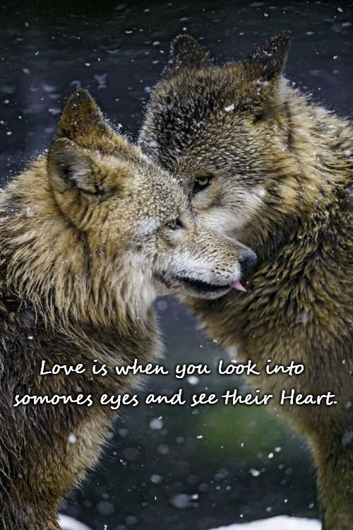 Wolves | Love is when you look into somones eyes and see their Heart. | image tagged in wolves,animals,wolf,native american,native americans,tribe | made w/ Imgflip meme maker