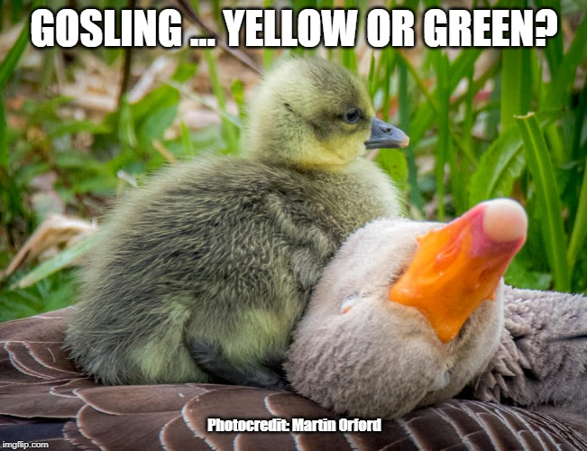 Gosling ... Yellow or Green | GOSLING ... YELLOW OR GREEN? Photocredit: Martin Orford | image tagged in wildlife,nature,goose,yellow or green | made w/ Imgflip meme maker