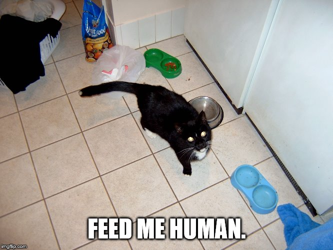 FEED ME HUMAN. | image tagged in hungry cat | made w/ Imgflip meme maker