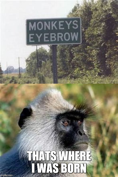 Monkeys Eyebrow | THATS WHERE I WAS BORN | image tagged in monkey,eyebrows,go home youre drunk,born | made w/ Imgflip meme maker