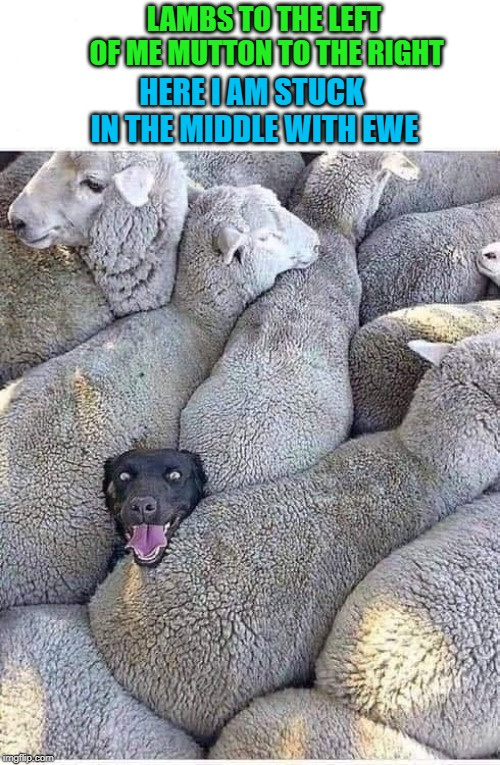 LAMBS TO THE LEFT OF ME MUTTON TO THE RIGHT HERE I AM STUCK IN THE MIDDLE WITH EWE | image tagged in stuck in the middle,memes,dogs,funny,sheep,animals | made w/ Imgflip meme maker