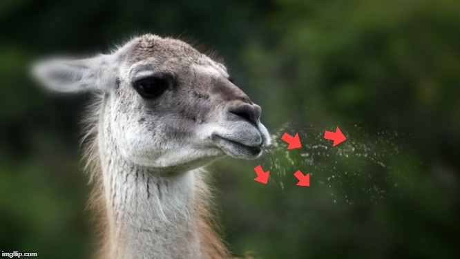 Funny spitting llama | image tagged in funny spitting llama | made w/ Imgflip meme maker