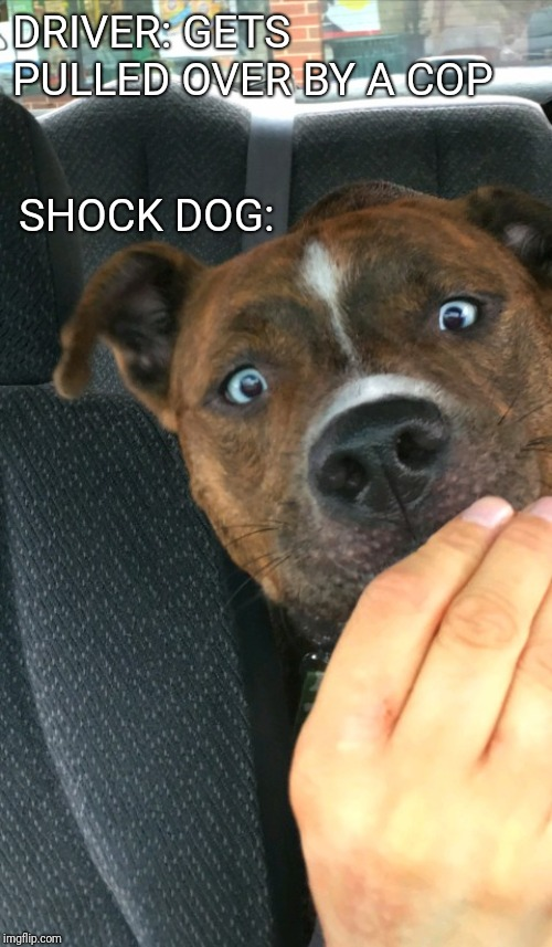 Shock Dog | DRIVER: GETS PULLED OVER BY A COP SHOCK DOG: | image tagged in shock dog,funny dogs,shocked,driving,cops,funny | made w/ Imgflip meme maker