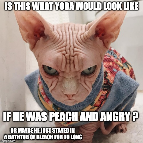 Bleached & Angry Yoda | IS THIS WHAT YODA WOULD LOOK LIKE IF HE WAS PEACH AND ANGRY ? OR MAYBE HE JUST STAYED IN A BATHTUB OF BLEACH FOR TO LONG | image tagged in ugly cat,yoda,star wars,fun,bleach,cat | made w/ Imgflip meme maker
