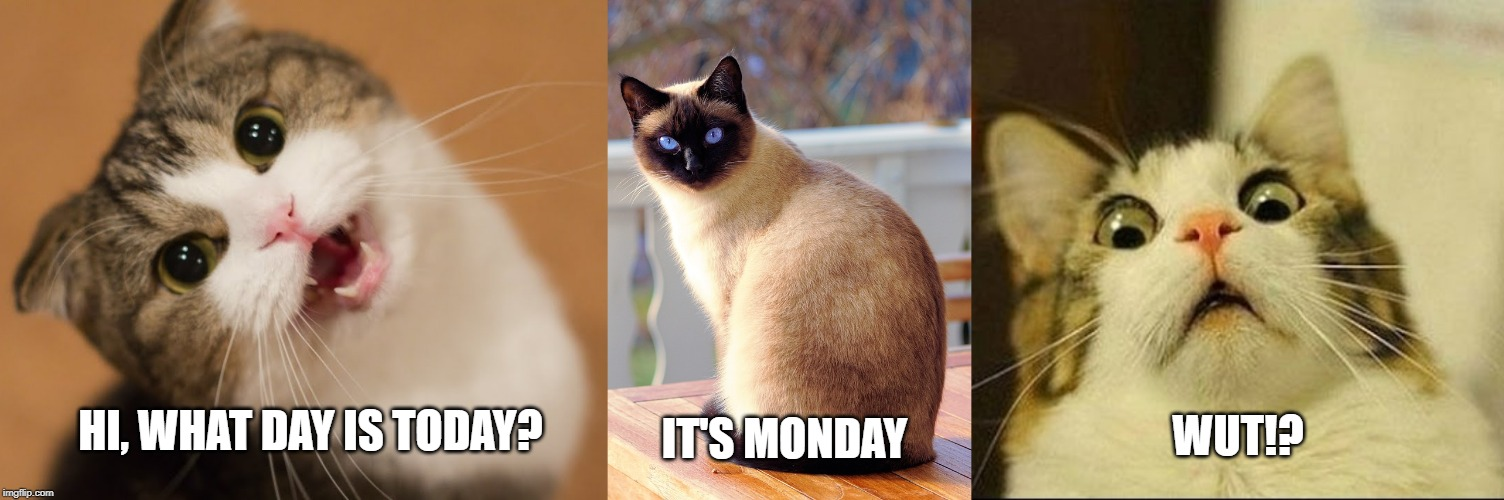 HI, WHAT DAY IS TODAY? WUT!? IT'S MONDAY | image tagged in cat,cats,funny cats,lolcats,mondays,monday face | made w/ Imgflip meme maker