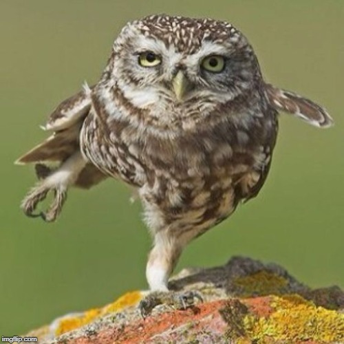 Small owl standing on one leg | image tagged in small owl standing on one leg | made w/ Imgflip meme maker