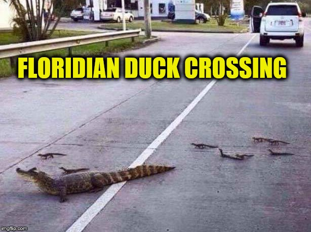 Tails from the Everglades |  FLORIDIAN DUCK CROSSING | image tagged in florida,meanwhile in florida,crocodile | made w/ Imgflip meme maker