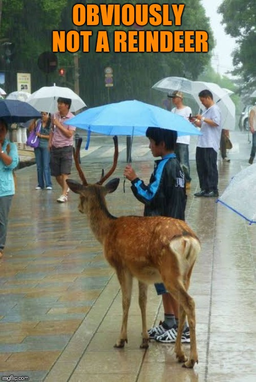 Keeping dry! | OBVIOUSLY NOT A REINDEER | image tagged in funny reindeer,keeping dry | made w/ Imgflip meme maker
