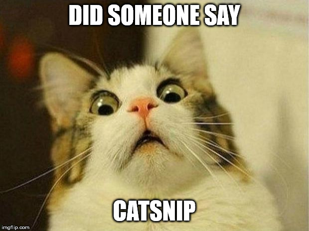 Scared Cat Meme |  DID SOMEONE SAY; CATSNIP | image tagged in memes,scared cat | made w/ Imgflip meme maker