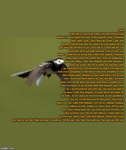 A Pied Wagtail (Original Poem on Quotev) | Look at the black. Look at the white. The blur of blacks and whites. Listen to highs and lows of this wagtail's chirp. Chripwee, that's what | image tagged in pied wagtail,poem,poetry | made w/ Imgflip meme maker