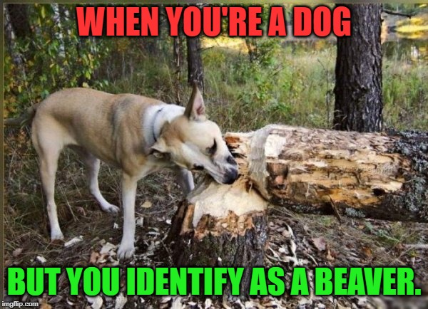 Be who you are! Even if it means taking a few splinters! | WHEN YOU'RE A DOG BUT YOU IDENTIFY AS A BEAVER. | image tagged in beaver dog,nixieknox,memes | made w/ Imgflip meme maker